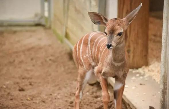 lesser kudu calf Maryland Zoo