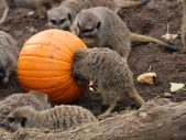 twycross zoo national pumpkin day