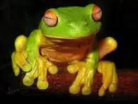 Australian red eyed tree frog