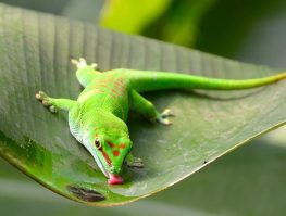 madagascar day gecko
