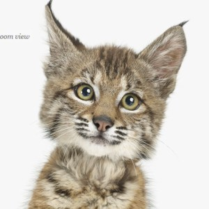 baby-bobcat-art-for-nursery