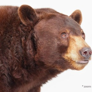 bear-photography-sharon-montrose-3.php