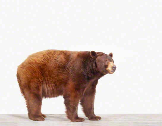 bear-photography-sharon-montrose