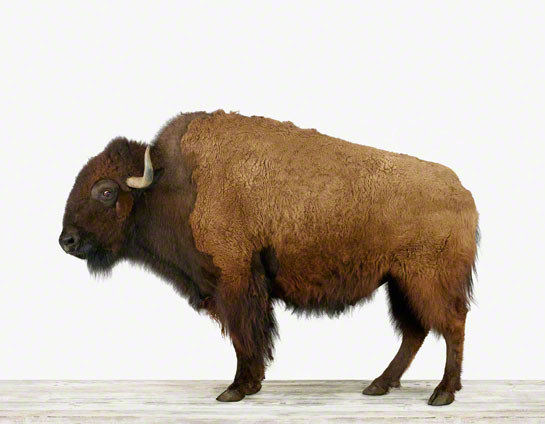 """BUFFALO WITH BABY BISON A4 GLOSS POSTER PRINT LAMINATED 10.4/""""x8.3/"""""""