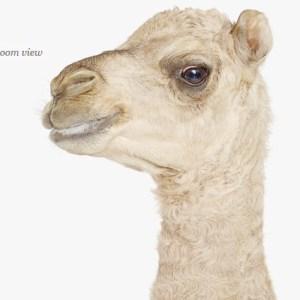 camel-safari--decor-for-nursery