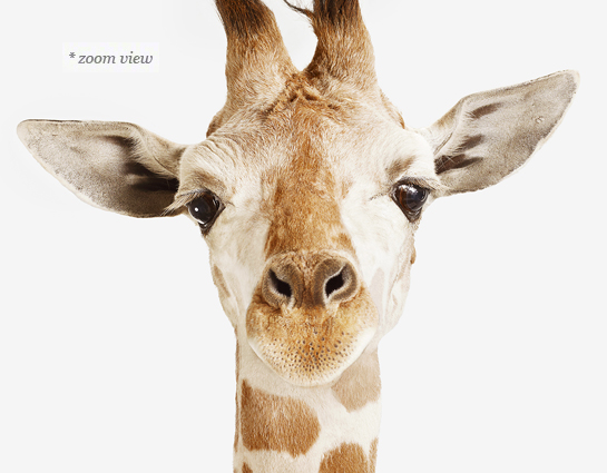 Baby Giraffe Little Darling By Photographer Sharon Montros