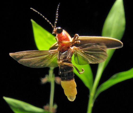 Warning: Fireflies Toxic to Some Animals