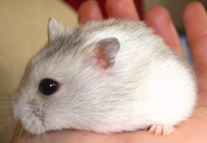FAQ: Hamsters | The Animal Store