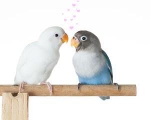 Lovebirds The Animal Store