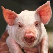 Animal Store Animal Jokes Pig Joke