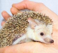 Animal Store hedgehog 1
