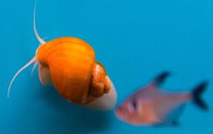 Aquarium snail