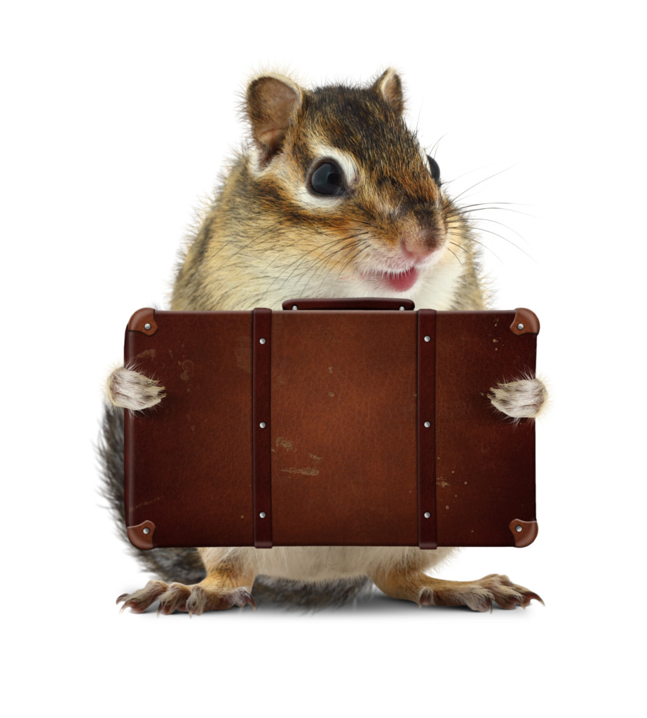 Rodent with suitcase
