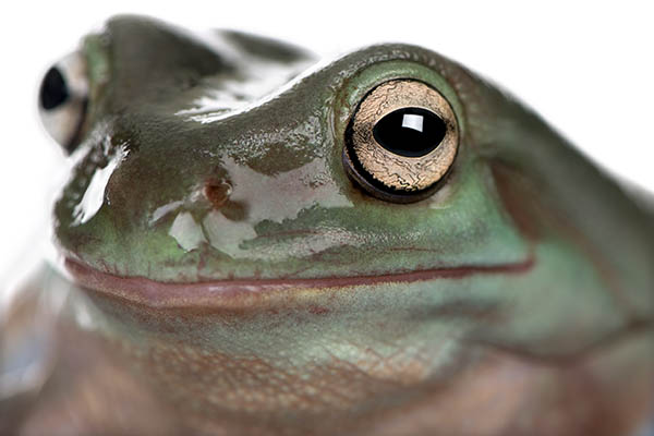 Pet Amphibians
