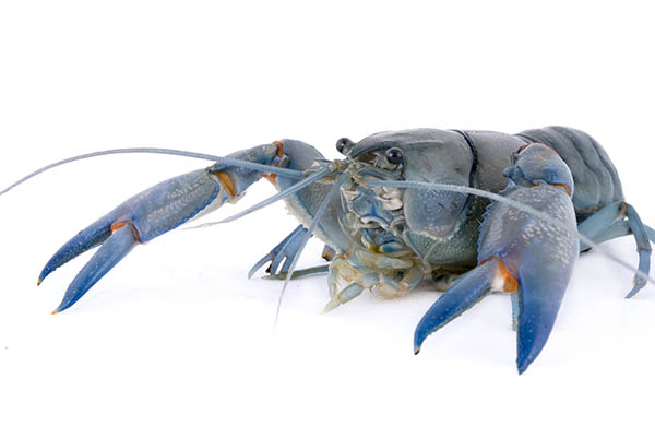 Blue Lobster Crayfish
