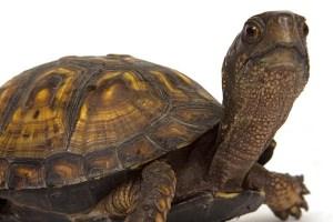Box Turtle in turtles and tortoises