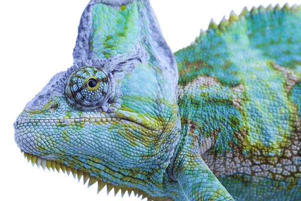 Chameleon Reptiles