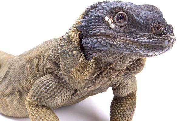 Chuckwalla Reptiles