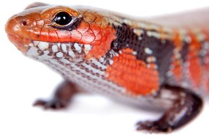 Fire Skink Reptiles