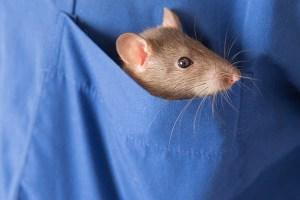 Rat pocket pets