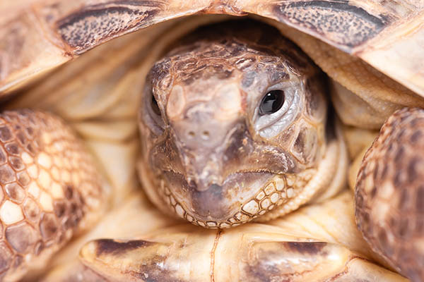 Russian Tortoise in turtles and tortoises