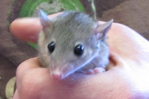 Short-tailed opossum pocket pets