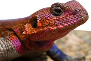 Spiderman Lizard (Red-headed Agama)
