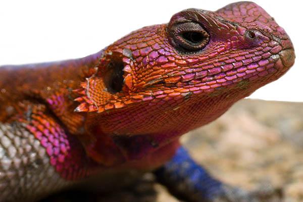 Spiderman Lizard (Red-headed Agama)