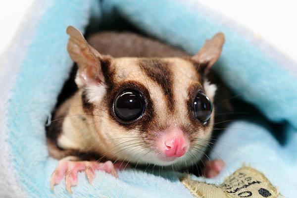 Sugar glider pocket pets