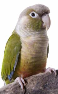 Cinnamon Conure, Cinnamon Green Cheek Conure