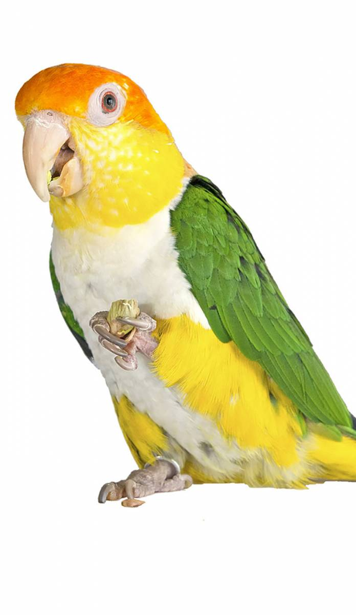 The Animal Store White-bellied Caique