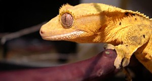 Crested Gecko Fun Fact