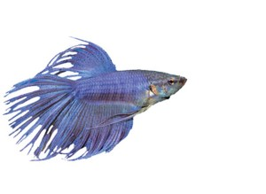 Animal Store Tropical Fish Sale betta fish