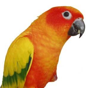 The Animal Store Sun Conure Parrot