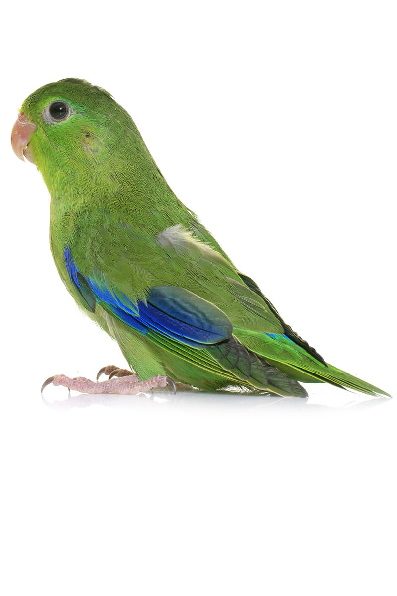 Pacific Parrotlet at The Animal Store