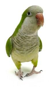 Green Quaker Parakeet