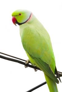 Green Indian Ringneck