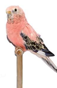 Rosy Bourke Parakeet