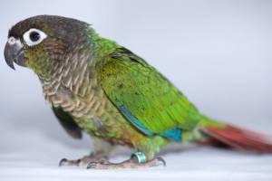 The Animal Store Green Cheek Conure