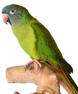 The Animal Store Blue-crowned Conure