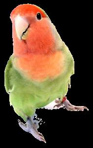 The Animal Store Lovebird