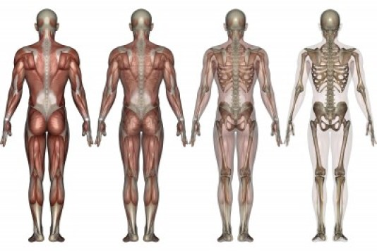 the musculoskeletal system - the apprentice doctor, Human Body