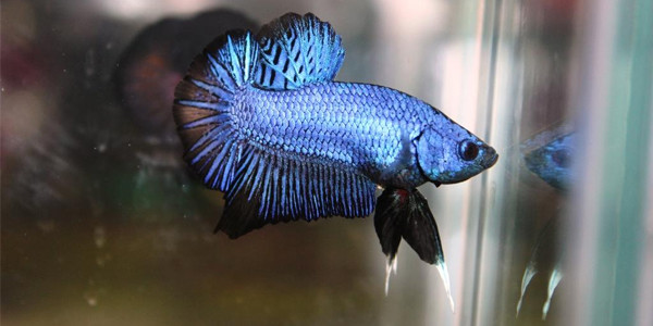 Image result for pictures of plakat tail betta fish
