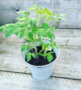 Kijk mijn tomatenplantje!