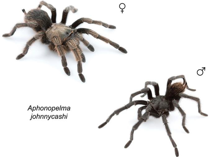 Aphonopelma Johnnycashi