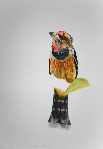 crested-barbet-11