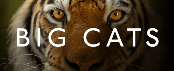 Competition: Win 'Big Cats' on DVD
