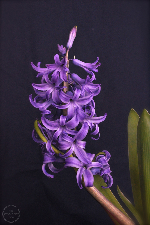 the artyologist- dramatic portrait of hyacinth