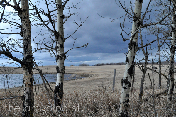 the artyologist image of poplar trees and clouds