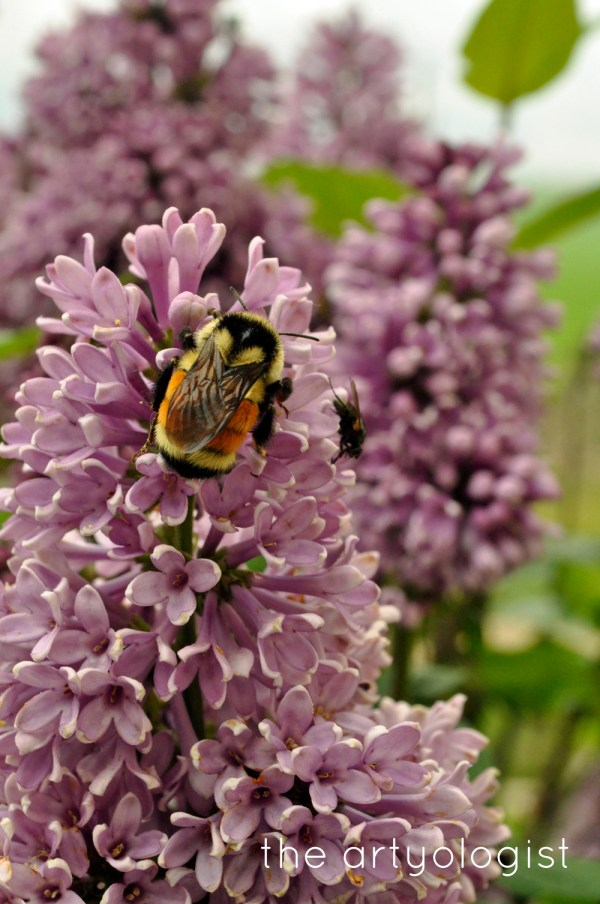 image of spring flowers lilacs with bumblebee the artyologist